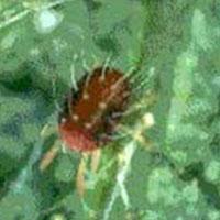 Nyttodjur mot fruktträdsspinn,  Biologisk bekämpning av fruktträdsspinn