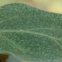 Rovkvalster mot spinn på växter