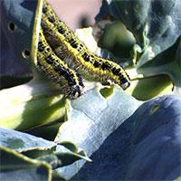 Nemasys C mot larver-Nemasys C - biologisk bekämpning av larver