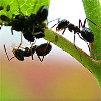Nemasys mot myror-Nemasys - biologisk bekämpning mot myror