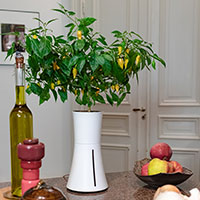 Botanium odling av 'Habanero Lemon'