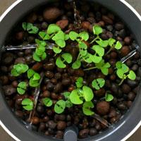 Odling i hydrokultur med Botanium