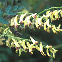 Corydalis ophiocarpa-