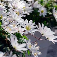 Vit balkansippa, Anemone blanda 'White Splendour'