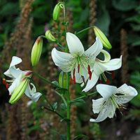 Asiatisk lilja vit