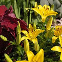 Asiatisk lilja 'Yellow' i rabatt