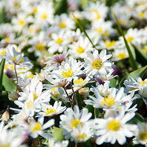 Balkansippa, Anemone blanda 'White Splendour'