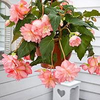 Hängbegonia 'Pink' i ampel