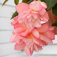 Knöl till Hängbegonia 'Pink'
