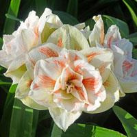 Lök till amaryllis, Hippeastrum × hortorum 'Nymph'