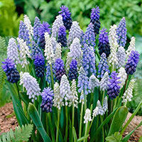 Muscari mix i rabatt