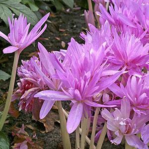 Dubbel, rosablommande tidlösa, Waterlilly