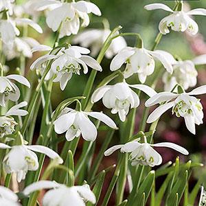 Dubbel snödroppa, Galanthus nivalis Flora pleno