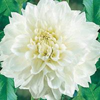 Dahlia White Perfection-Knölar till Dahlia White Perfection