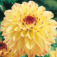 Dahlia Yellow Jill-Knöl till Dahlia Yellow Jill