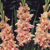 Gladiolus Magic Ruffle-Knöl till Gladiolus Magic Ruffle
