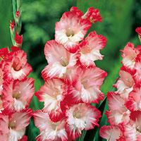 Gladiolus Pink Lady-Knöl till Gladiolus Pink Lady