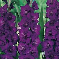 Gladiolus Purple flora-Knöl till Gladiolus Purple flora