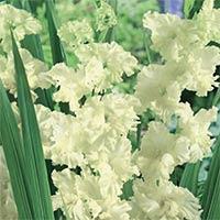 Gladiolus Snowy Ruffle-Knöl till Gladiolus Snowy Ruffle