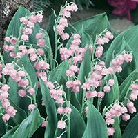 Liljekonvalj, rosablommande-Rhizom till rosablommande Liljekonvalj