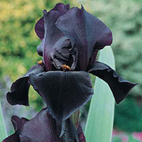Iris Black Dragon-Rhizom till Iris Black Dragon