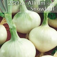 Silverlök Snowball, sättlök-Sättlöktill Silverlök, Snowball