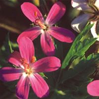 Näva - Geranium Canariense,