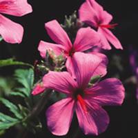 Näva - Geranium palmatum-