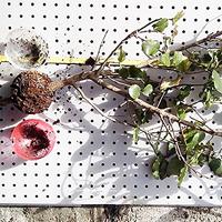 Sticklingsglob, Globe stickling för rotning av buskar