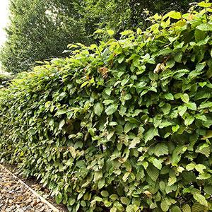Avenbok, Carpinus betulus, 150-175 cm