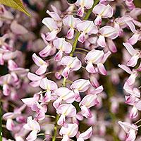 Rosablommande blåregn floribunda 'Rosea'