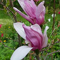 Närbild blommor på magnolia Susan