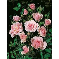 Rosa blommor på Ros 'Bonica'