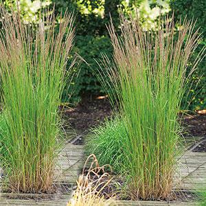 Calamagrostis acutiflora `Karl Foerster´