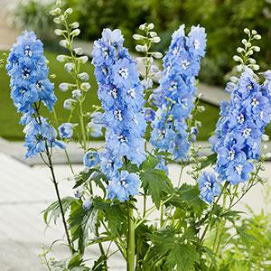 Trädgårdsriddarsporre 'Blue Bird', 3-pack-Delphinium El. Trädgårdsriddarsporre 'Blue Bird'