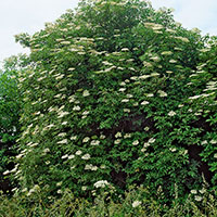 Fläder, Sambucus nigra