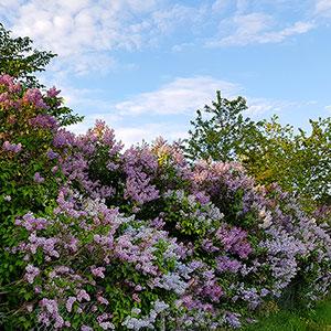 Friväxande syrenhäck, lila blommor