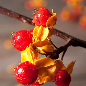 Frukt på Japansk träddödare