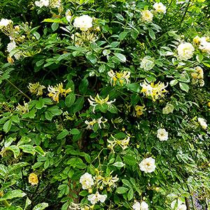 Kaprifol planterad med gulblommig ros