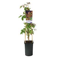 Klätterväxt Parthenocissus henryana