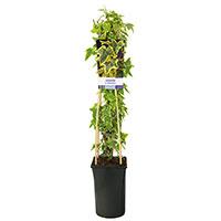Klätterväxt Murgröna Hedera helix 'Goldchild'