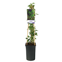 Klätterväxt Murgröna Hedera helix 'Ivalace'