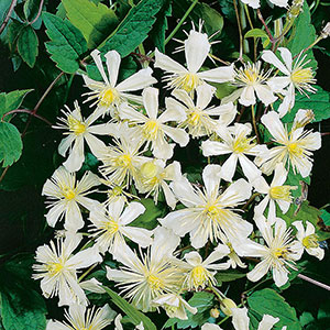 Klematis 'Paul Farges', 10-pack-Klematis, Clematis Paul Farges (Summer Snow)