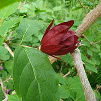 Kryddbuske, blomknopp