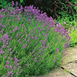 Lavendula Angustifolia, Lavendel 'Hidcote'