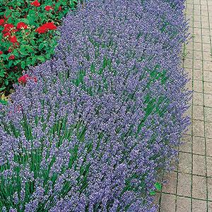 Lavendula Angustifolia, Lavendel 'Munstead'