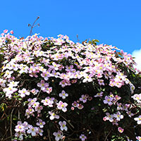 Rikblommande klematis Montana Rubens, rosa blommor
