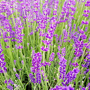 Djupblå lavendel Lavandula 'Hidcote Blue'