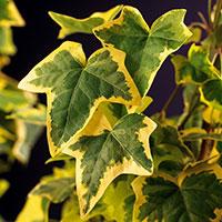 Murgröna 'Goldchild'