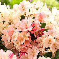 Närbild på blomma Rhododendron 'Percy Wiseman'
